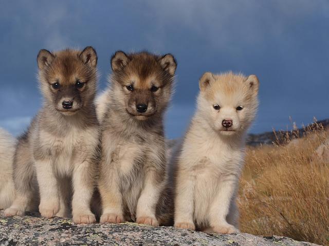 sněžní psy